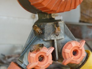 photo of bees at tap connection