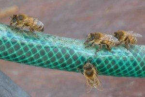 photo of bees drinking from water they have made run down a hose