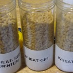 photo of 3 grades of wheat