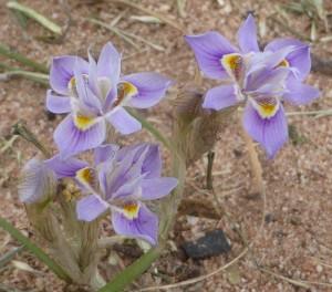 Thread iris